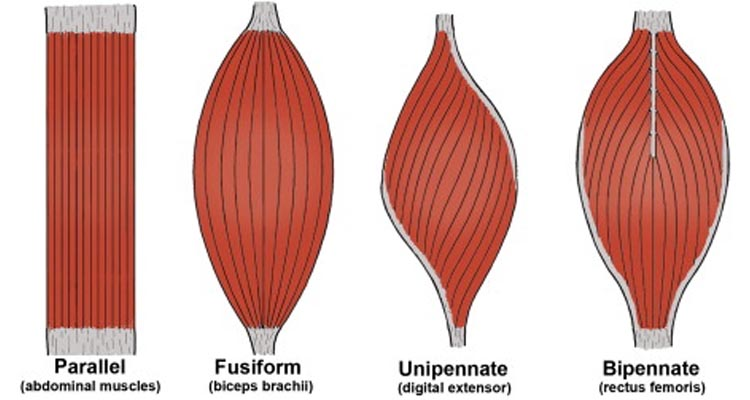 What is the difference between massage parallel to one's muscle fibers and massage perpendicular to them?