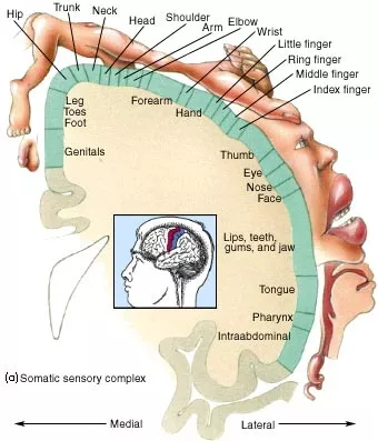 """Somatic Sensory Complex (""""Why Does Touch Feel Good?"""")"""